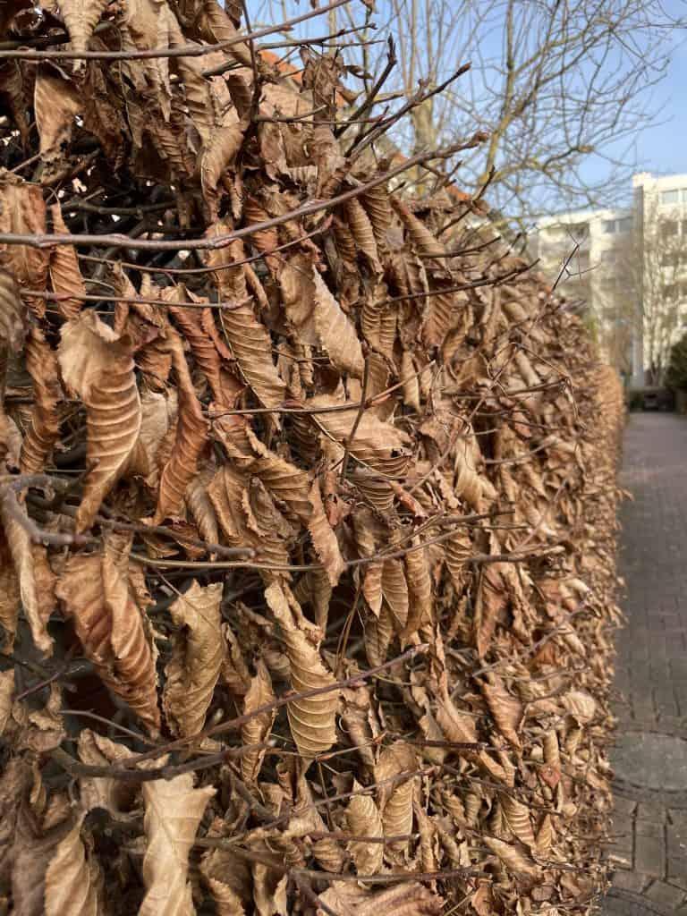 Hecke mit verwelkten Blättern