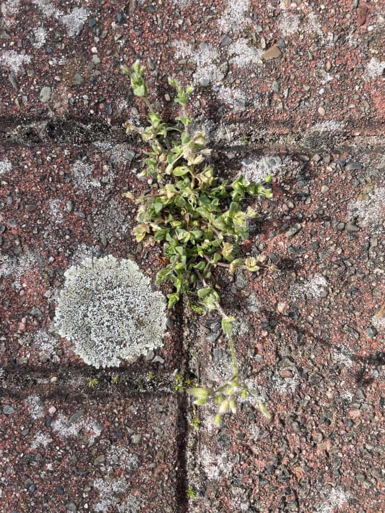 Kraut wächst aus Steinfuge
