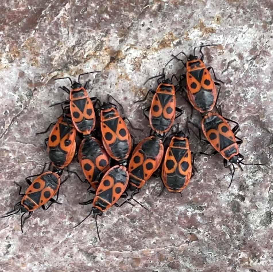 Käferansammlung auf Stein