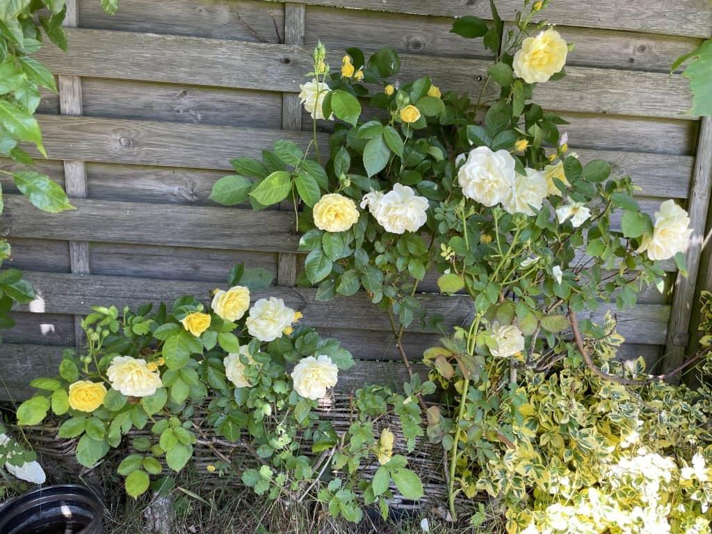 Busch gelbe Rosen