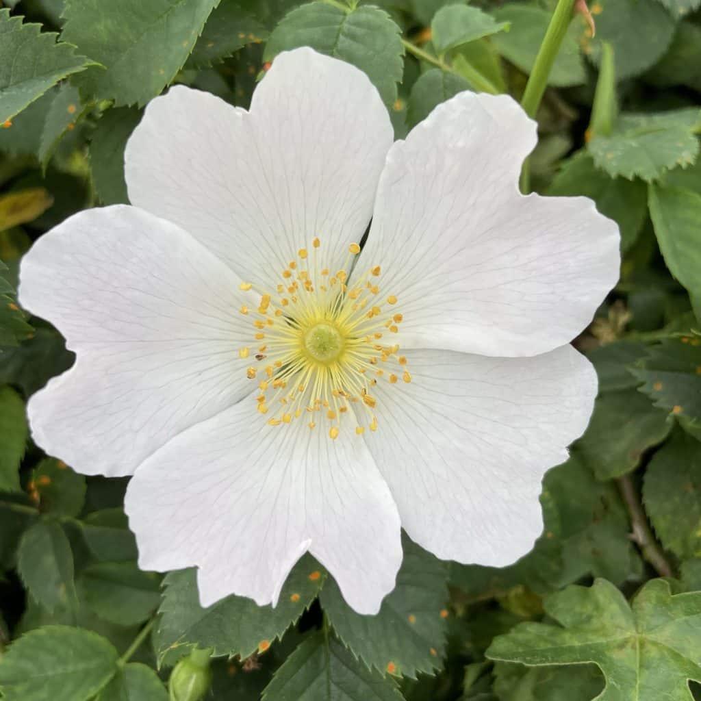 Blume mit weißer Blüte