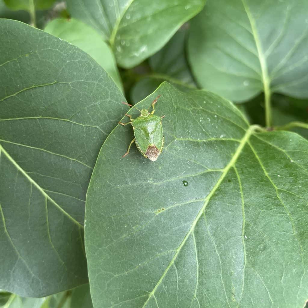 grüner Käfer vor grünen Blättern