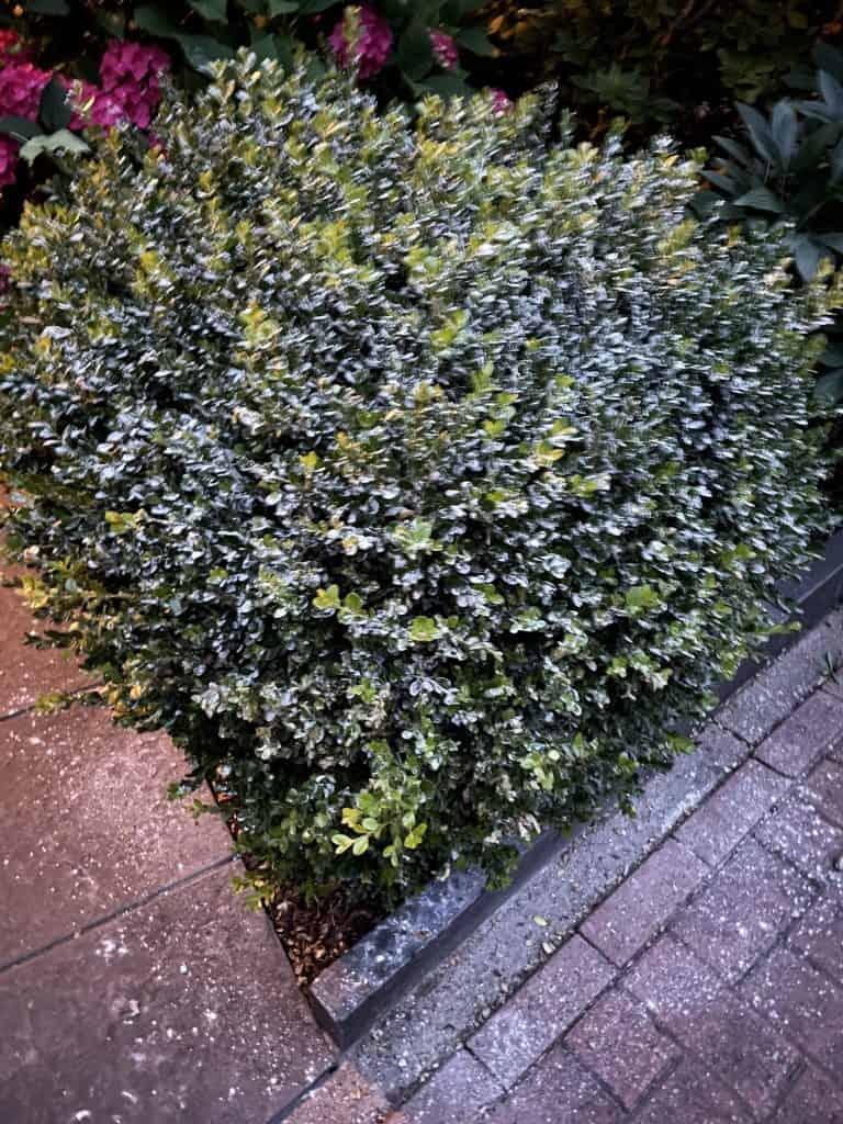 Buchsbaum 2 mit Algenpulver bestreut