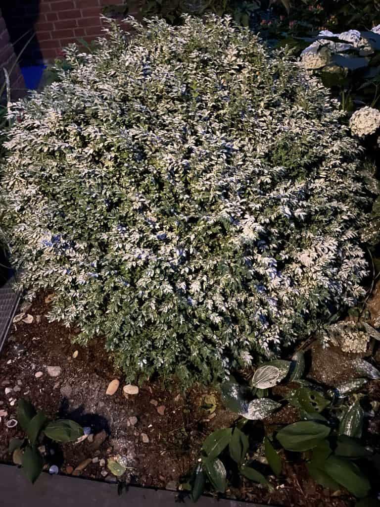 Buchsbaum 3 mit Algenpulver bestreut