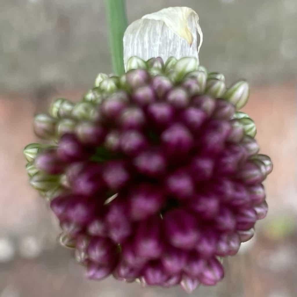 brombeerartige Blüte