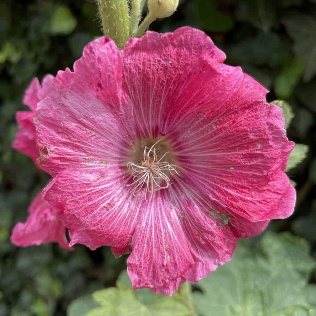 Blume mit rosa Blüte
