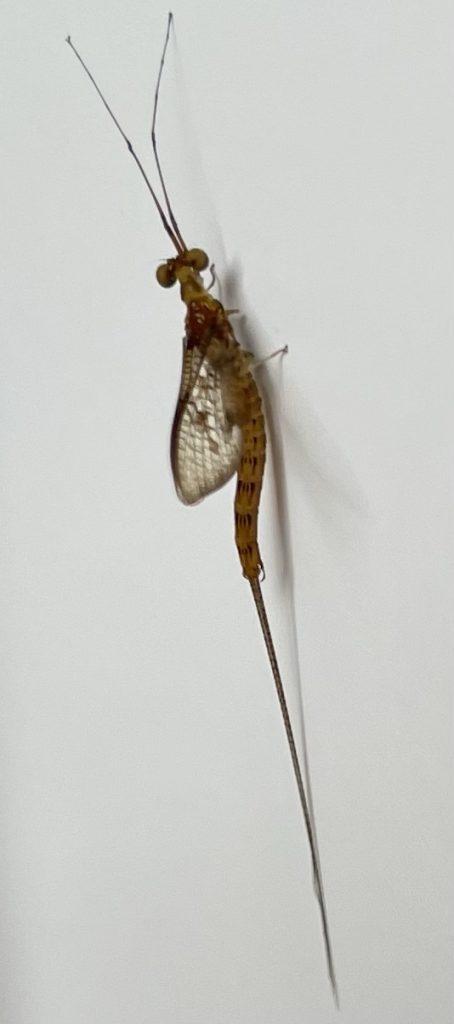 Insekt an Tür