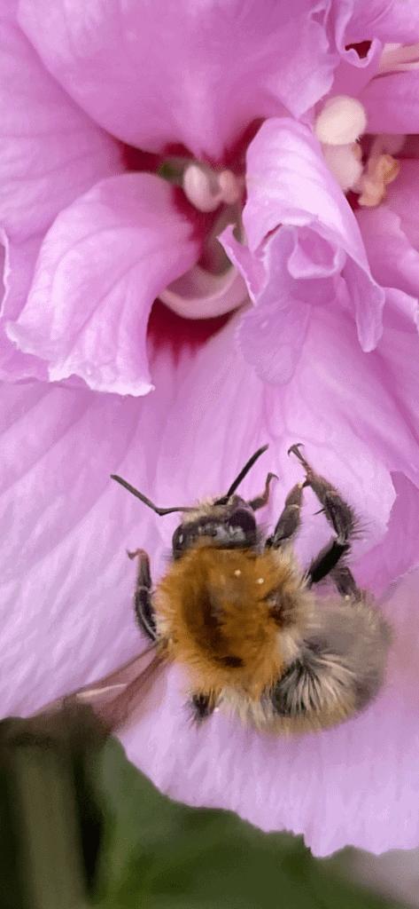 Biene sammelt Blütenstaub in Blüte
