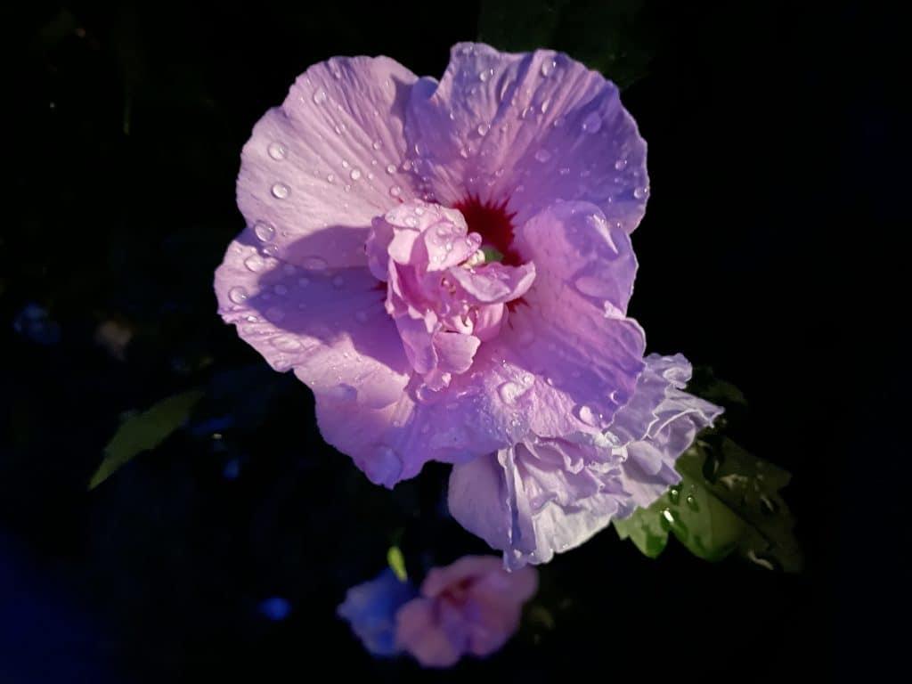rosa Blüte in der Dunkelheit