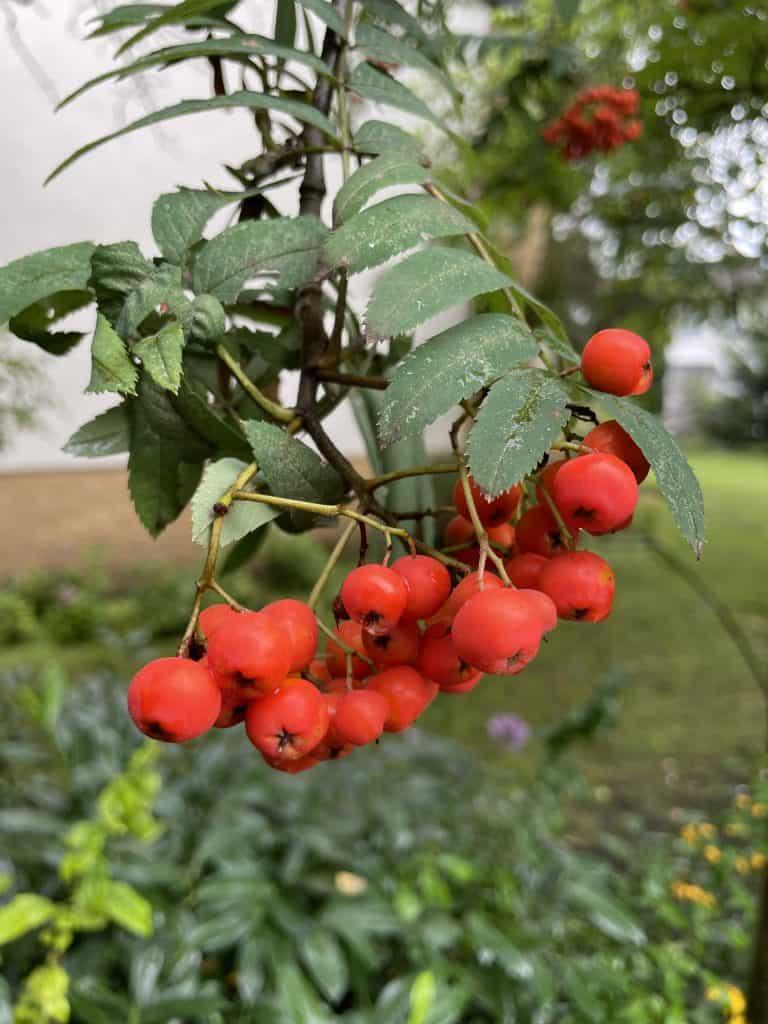 rote Beeren am Strauch