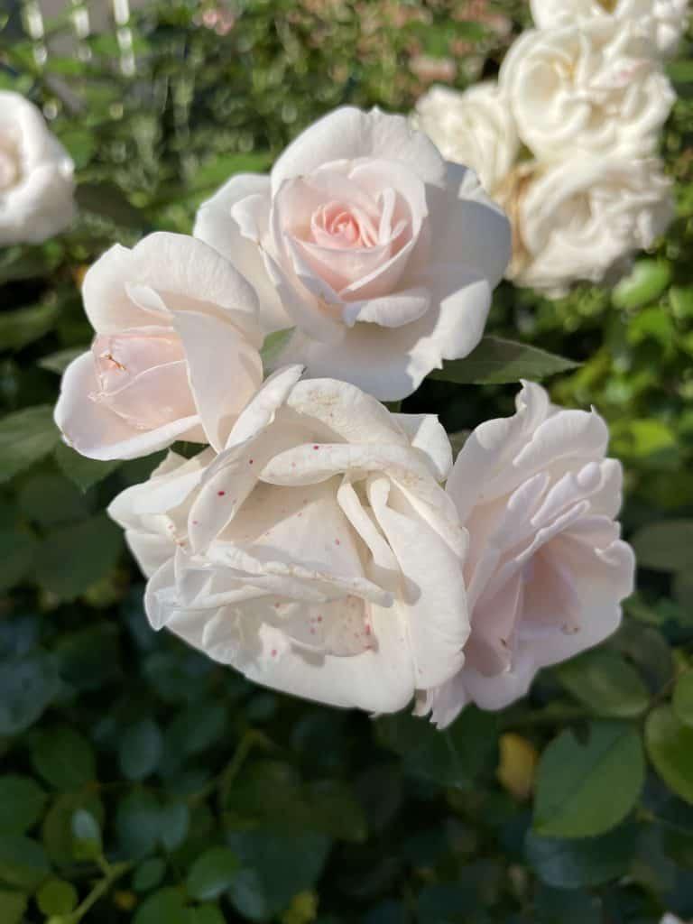 weiße Rosen mit einem Hauch Rose