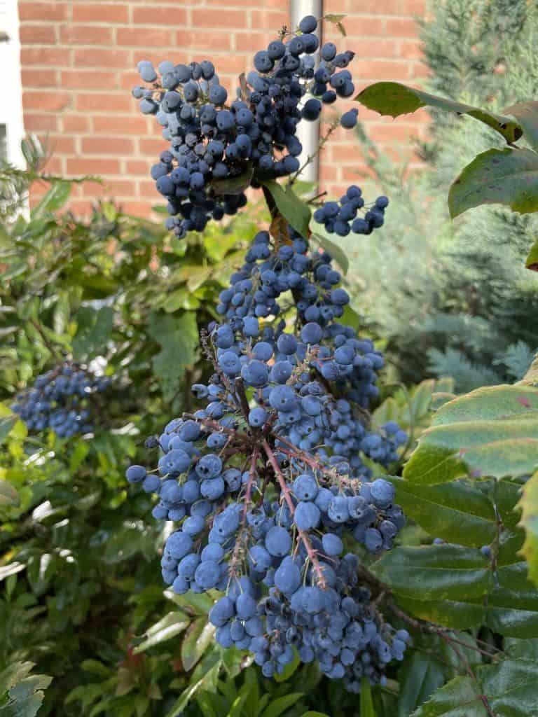 Weinrebe mit Rotweintrauben