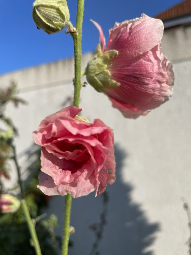 rosa Blüten mut einem Hauch Weiß