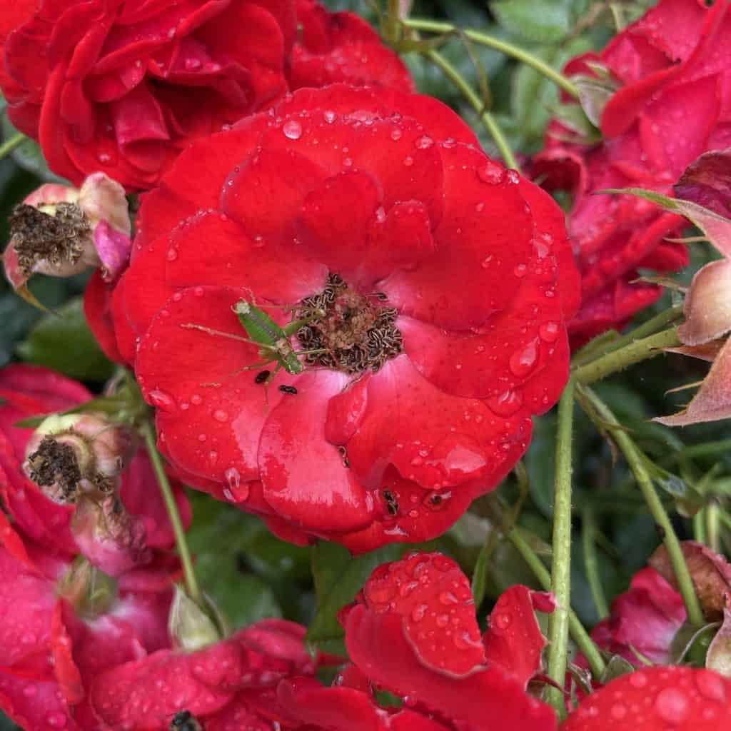 rote Rose mit grünem Grashüpfer