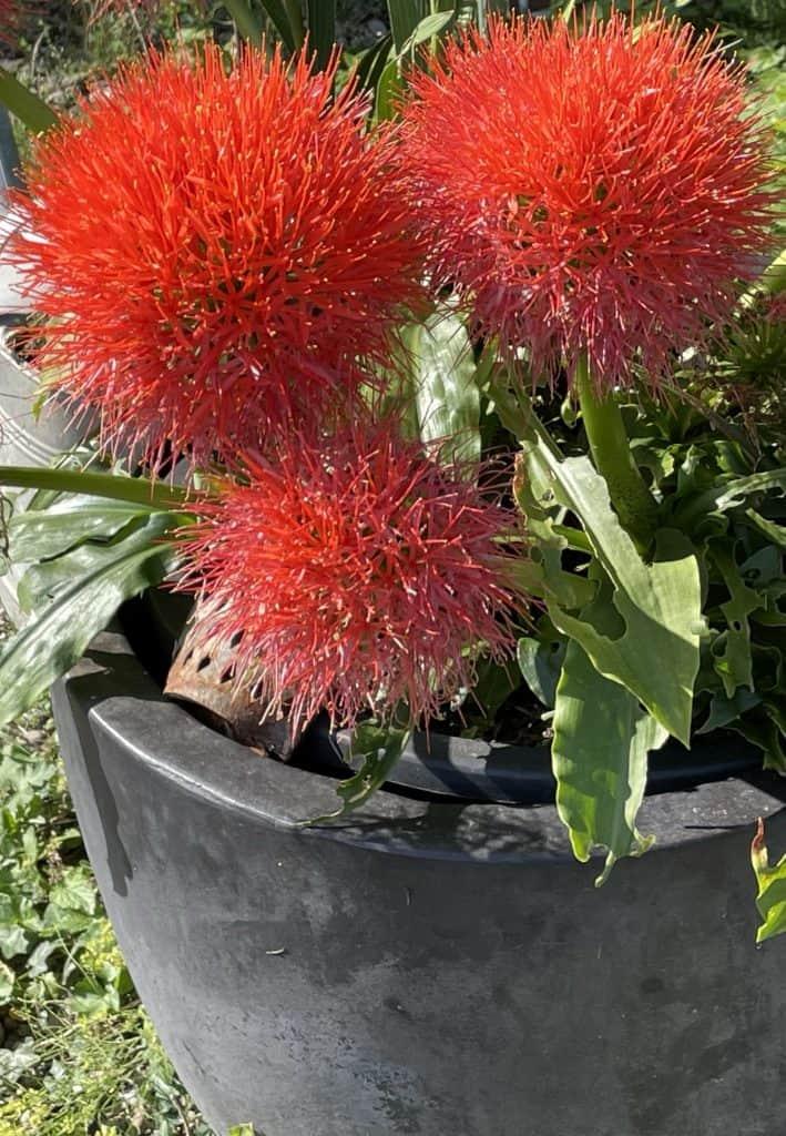 rote Blumen im Kübel